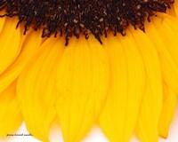 Sunflower Closeup Fine Art Print