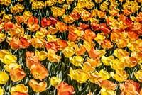 Tulip Wave Fine Art Print