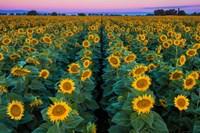 Dawn Sunflowers Fine Art Print