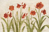 Row of Red Amaryllis Light Framed Print