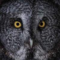 Great Grey Owl Fine Art Print