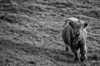 Highland Cow Calf in the Wind Fine Art Print