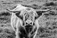 Highland Cow Staring Contest Fine Art Print