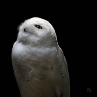 Snowy Owl Looks to the Sun Fine Art Print