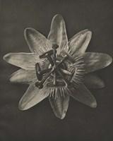 Blossfeldt Flower I Framed Print