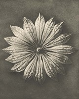 Blossfeldt Flower II Framed Print