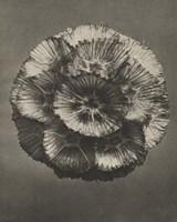 Blossfeldt Flower III Framed Print