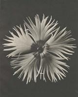Blossfeldt Flower IV Framed Print