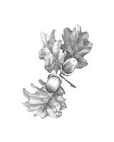 Oak Leaf Pencil Sketch II Framed Print