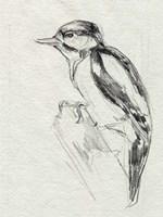 Woodpecker Sketch I Framed Print
