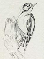 Woodpecker Sketch II Framed Print