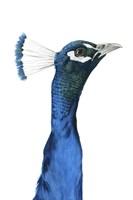 Peacock Portrait I Framed Print