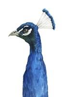 Peacock Portrait II Framed Print