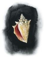 Conch on Black I Framed Print