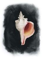 Conch on Black II Framed Print