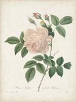 Vintage Redoute Roses II Fine Art Print