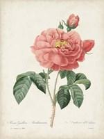 Vintage Redoute Roses III Framed Print