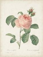 Vintage Redoute Roses IV Framed Print