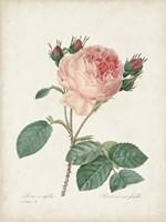Vintage Redoute Roses V Fine Art Print