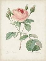 Vintage Redoute Roses VI Fine Art Print