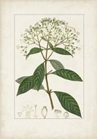 Antique Turpin Botanical VIII Framed Print