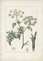 Antique Turpin Botanical IX Framed Print