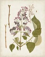 Vintage Flowering Trees II Framed Print
