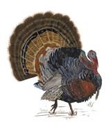 Turkey Study I Framed Print