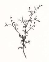Wild Bloom Sketch II Framed Print