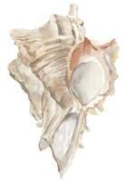 Seashell IV Framed Print