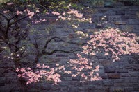 Dogwood in Pink Fine Art Print