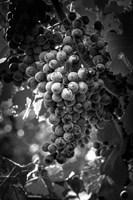 Fruit of The Vine Fine Art Print