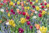 Kuekenhof Tulips I Fine Art Print