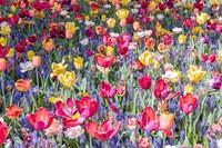 Kuekenhof Tulips II Fine Art Print