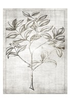 Antique Palm 1 Framed Print