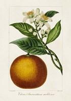 Antique Citrus Fruit I Framed Print