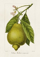 Antique Citrus Fruit III Framed Print