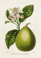 Antique Citrus Fruit IV Fine Art Print