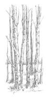 Birch Tree Sketch I Framed Print