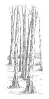 Birch Tree Sketch II Framed Print