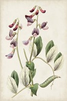 Antique Botanical Collection I Framed Print