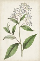 Antique Botanical Collection XII Framed Print