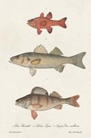 Species of Antique Fish II Framed Print