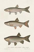 Species of Antique Fish IV Framed Print