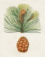Antique Pine Cones II Framed Print