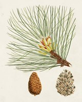Antique Pine Cones IV Framed Print