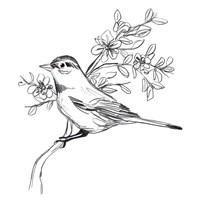 Simple Songbird Sketches III Framed Print