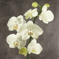 Orchids on Grey Background II Framed Print