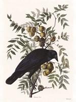 Vintage Crow 1 Framed Print