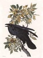 Vintage Crow 2 Framed Print